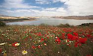 Wild poppies, Atlas Mountains, Morocco