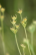 Slender Hare's-ear - Bupleurum tenuissimum