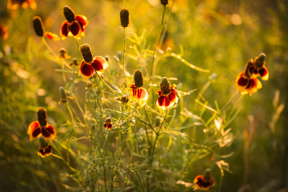 Prairie coneflower, a lively native wildflower. Photo accompanied Urban Getaway, a piece I wrote for the Lady Bird Johnson Wildflower Center's Wildflower Magazine, spring 2020, Austin, Texas