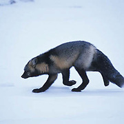 Red Fox, (Vulpus fulva) Sub species Cross Fox, which is a color phase of the red fox, in Manitoba. Churchill, Manitoba. Canada.