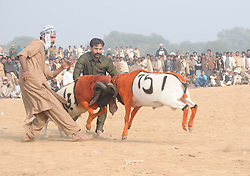 December 13, 2016 - Rawalpindi, punjab, Pakistan - Villagers watch sheep fighting each other to annual sheep fighting festival in. The people and farmers   round up their finest fighting sheep and gathered among friends to cheer on the creatures as they violently rammed into each other until their horns fell off. The 'ÄúSmall-Tail Han Sheep'Äù known for their head-butting abilities, battled it out in front of hundreds of onlookers who were able to distinguish the animals by their drawn-on marks. The sheep were then divided according to age and weight in the single-elimination match. (Credit Image: © Zubair Abbasi/Pacific Press via ZUMA Wire)