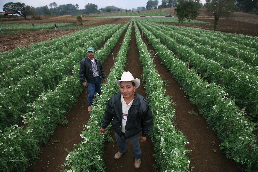 Vicente García, pea farmer. Sugar snap peas are irrigated by drip-feed tubes. Cooperativa Las Canoas is a Fairtrade-certified vegetable producer in San Miguel Las Canoas, Sololá, Guatemala. Some 90 indigenous Kaqchikel farmers make up the coop.