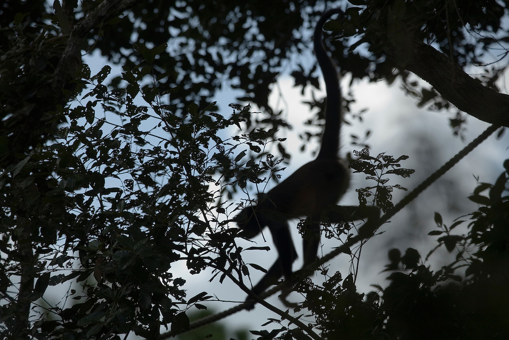 Spider Monkey (Ateles geoffroyi) climbing on rope between trees, Belize Zoo, Belize, Central America