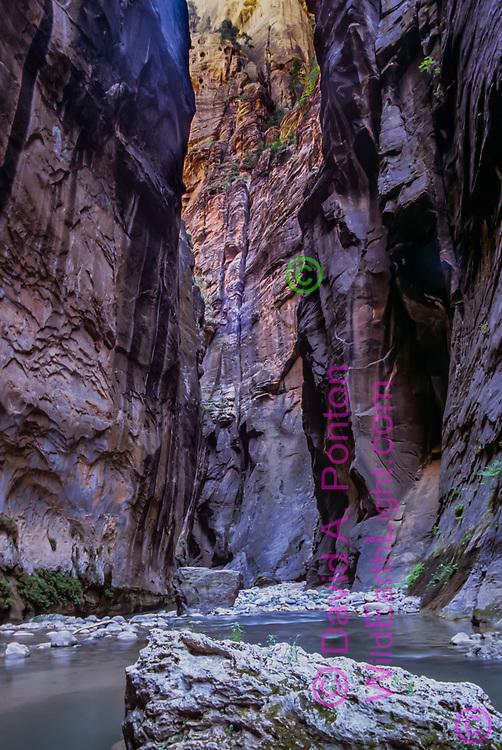 Close walls of multi-colored sandstone define the Zion Narrows. © David A. Ponton