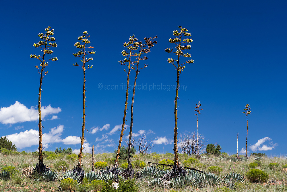 Blooming century plants (Agave neomexicana), Ladder Ranch, New Mexico, USA. (tentative id)