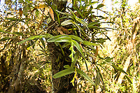 """Clear view of the rigid epidendrum putting out a new flower spike. The alternate bud pattern gives rise to its other common name, the """"zigzag"""" orchid."""
