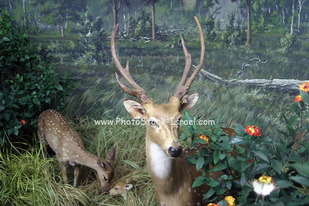 Italy, Milan, stuffed animals (deer) on display at the Natural History musem