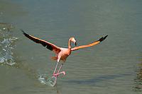 Flamingo in the Galapagos Islands, Ecuador.