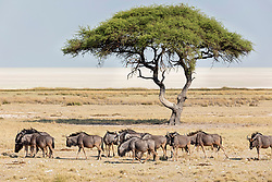 Large group of Gnus animals and mopane tree at Etosha National Park, Namibia, Africa