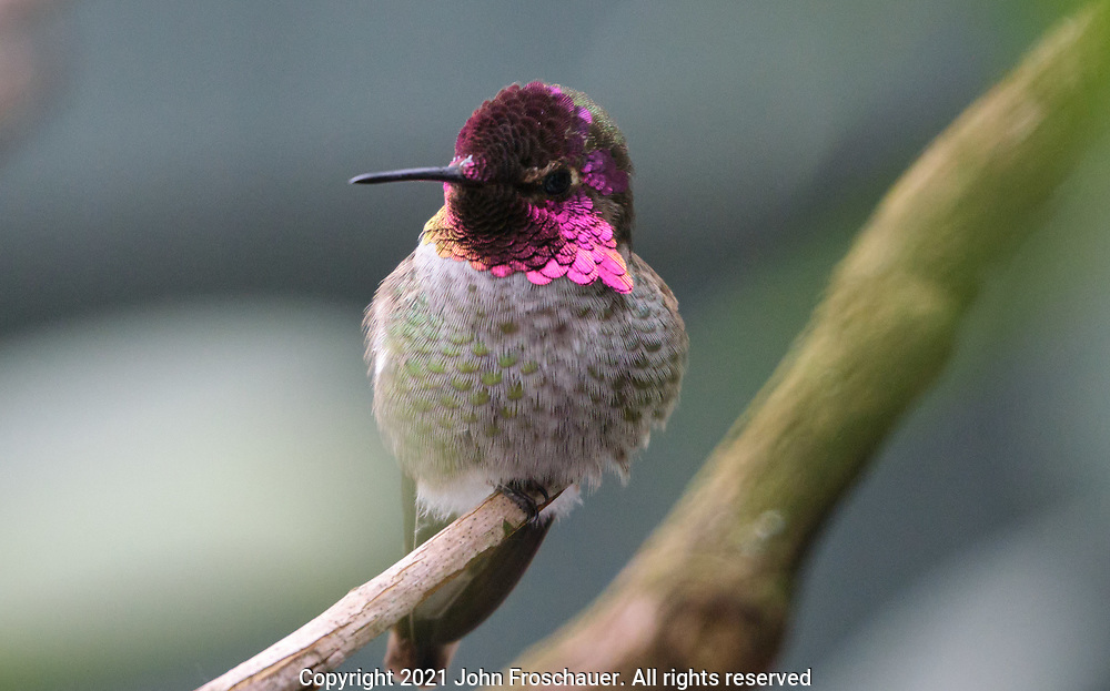 A male Anna;s hummingbird seen perching on a branch on a cold winter day, Friday, Feb. 12, 2021, in Tacoma. (Photo/John Froschauer)