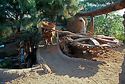 EGYPT, AGRICULTURE traditional irrigation using oxen power to turn a system of gears that lift jars  of Nile River water, near Luxor