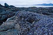 A large bed of mussels growing on the rocky shore lies exposed at low tide at Shi Shi Beach, Olympic National Park, Washington.