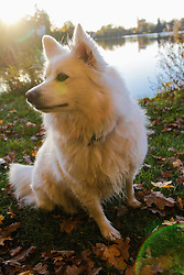 Spitz dog sitting at lakeshore, Lake Wessling, Bavaria, Germany