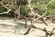 Mangrove tree Manuel Antonio National Park, (Parque Nacional Manuel Antonio), Costa Rica