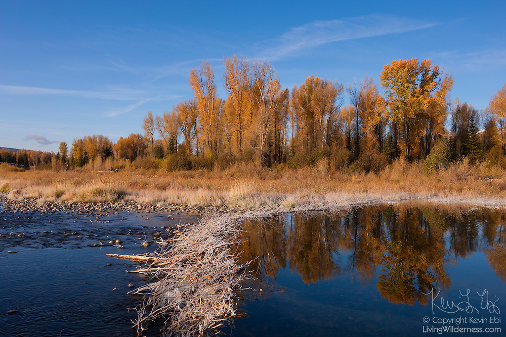 Several trees displaying their autumn colors are reflected in a pond behind an icy beaver dam at Schwabacher's Landing, Grand Teton National Park, Wyoming.