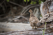 A female blue grouse watches intently as our drift boat comes to shore to collect firewood. In the tall grass below she oversees 4-5 chicks that remain unaware of our arrival.