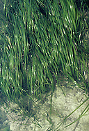 EELGRASS Zostera marina (Zosteraceae) Aquatic. Grass-like marine perennial that grows in sand and silt substrates, typically below the low-water mark, hence only seldom exposed to air. FLOWERS are small, greenish and borne in branched clusters, enclosed by sheaths (Jun-Sep). FRUITS are spongy. LEAVES are 1cm wide and up to 5cm long, and bristle-tipped. STATUS-Widespread but local.