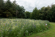 Wild flowers growing in a park in Cleobury Mortimer, United Kingdom. Wild flower verges are becomming more common in the UK in the last decade as an effort to both increase insect numbers and also saving money on grass cutting.