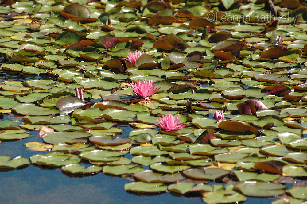 pink waterlilies in the pond