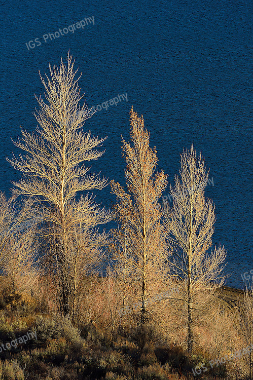 Balsam Poplars on The Shores of the Lower Slide Lake Glisten in The Afternoon Sun