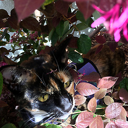 Zelda the cat lurks in the bushes of the front yard of her Oakland, Calif. home, Sunday, March 29, 2020. (Photo by D. Ross Cameron)