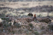 Red Grouse - Lagopus lagopus scotica. Stanage Edge, Peak District, Derbyshire.
