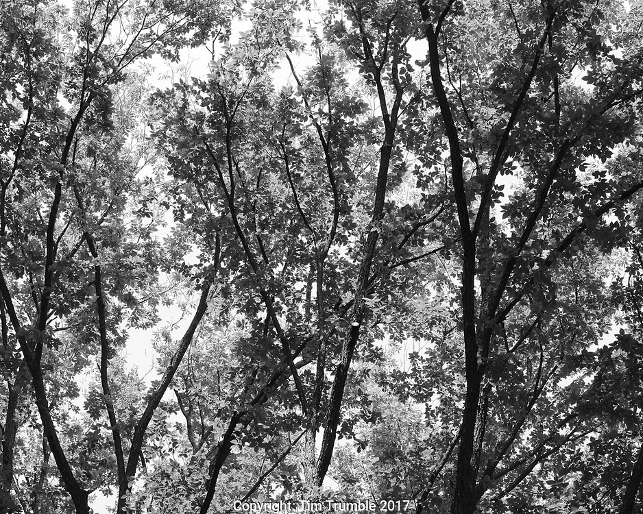 Black and white photo of trees with leaves
