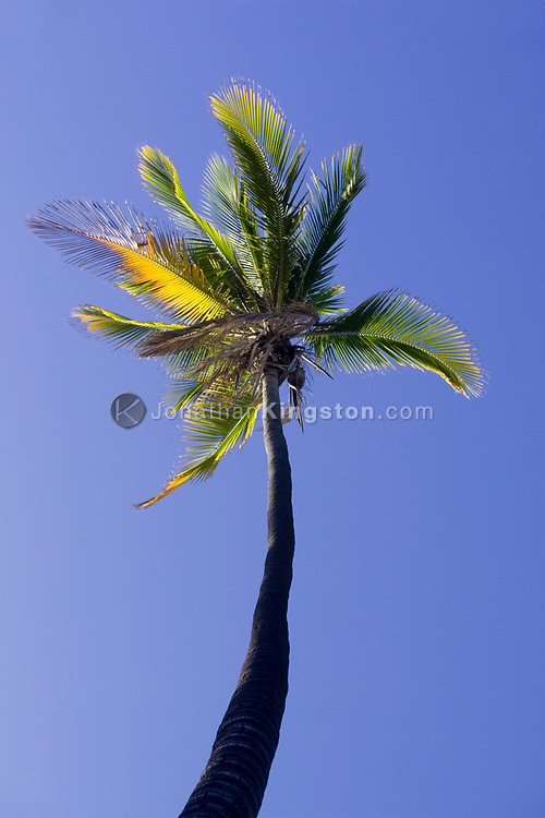 MOLOKAI, HI – A lone palm tree against the blue sky of the Pacific Island of Molokai, Hawaii. This tree is part of a palm grove that at one time was home to 1000 palms and one of the largest groves in the Pacific islands of Hawaii.