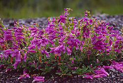 Cardwell's Penstemon (Penstemon cardwellii), Mt. St. Helens National Volcanic Monument, Washington, US
