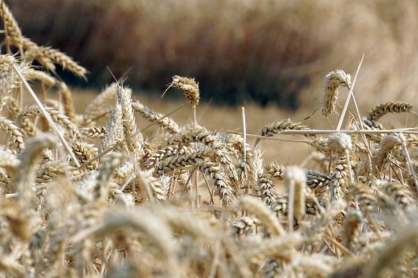 Nederland, Millingen, 24-7-2017 Een veld met tarwe, graan wordt door een combine geoogst. Tarweveld, graanveld. Door het droge en warme weer wodrt de tarwe vroeg van het land gehaald en is minder groot .Foto: Flip Franssen