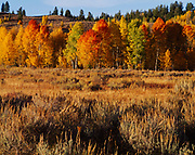 Autumn colors of quaking aspens near the Oxbow Bend of the Snake River, Grand Teton National Park, Wyoming.
