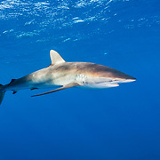 Silky shark (Carcharhinus falciformis). Jardines de la Reina, Gardens of the Queen National Park, Cuba