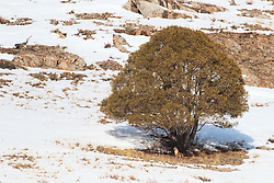 Mountain Lion environmental portrait.