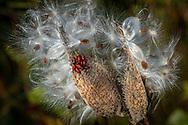 A cluster of large milkweed bug nymphs on a burst pod