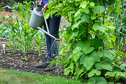 Watering runner beans at the base using a watering can with a rose.