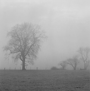 Elm trees in the mist