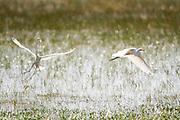 Macapa_AP, Brasil...Area de protecao ambiental, a cerca de 12 quilometros do centro de Macapa, abriga a comunidade quilombola do Curiau. Na foto garcas...Environmental protection area, about 12 km from the Macapa center, in this area there are quilombo Curiau. In this photo herons...Foto: JOAO MARCOS ROSA / NITRO