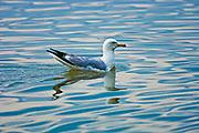 Ring-billed gull (Larus delawarensis) on Mindemoya Lake<br />Manitoulin Island<br />Ontario<br />Canada