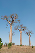 Baobab Tree, Adansonia za, Zombitse-Vohibasia National Park, Madagascar, three trees in line