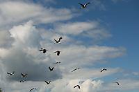 Podlasie, powiat wyokomazowiecki, 12.07.2020. N/z w lipcu mlode bociany ucza sie latania w stadzie, aby moc w sierpniu odleciec na zime do Afryki fot Michal Kosc / AGENCJA WSCHOD
