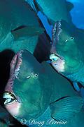 giant bumphead parrotfish <br /> or green humphead parrotfish, <br /> Bolbometopon muricatum,<br /> Sipadan Island, off Borneo, <br /> Malaysia ( Celebes Sea )