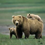 Alaskan Brown Bear, (Ursus middendorffi) Mother with young cub riding on her back, Katmai National Park, Alaska.
