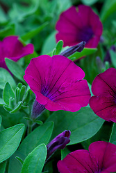 Petunia Surfinia 'Velvet'
