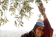Sameera Toumeh rests her head in exhaustion while harvesting olives on her family's land in the northern West Bank town of Qaffin, Wednesday, November 5, 2003. Due to the placement of the  Israeli Security Fence, the Tomeh family had to acquire a permit this year to get to this portion of their olive trees...Photo by Erin Lubin
