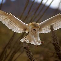 North America, Americas, USA, United States, Arizona. Common Barn Owl at Arizona-Sonora Desert Museum.