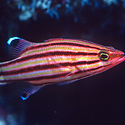 Peppermint hide in dark recesses in reefs and walls in Tropical West Atlantic; picture taken Grand Cayman.