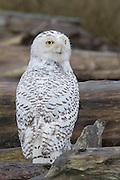 A snowy owl (Bubo scandiacus formerly Nyctea scandiaca) rests on driftwood at Boundary Bay in southern British Columbia, Canada. Snowy owls migrate that far south only once or twice a decade in a type of migration known as an irruption.