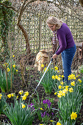 Weeding between plants in a border in early spring using a hoe