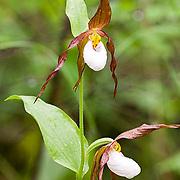 Small White Lady's Slipper (Cypripedium candidum) Wildflower. Montana.