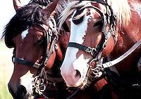 Team of draft horses, Motherwell Homestead National Historic Site, Saskatchewan